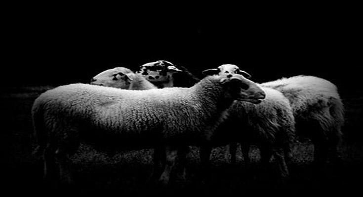 ovce robovi strah