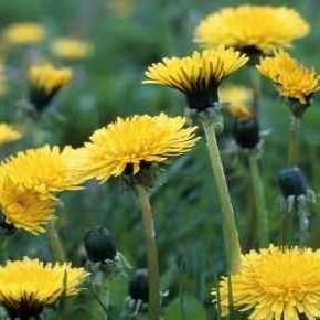 Korijen ove biljke učinkovitiji je od kemoterapije