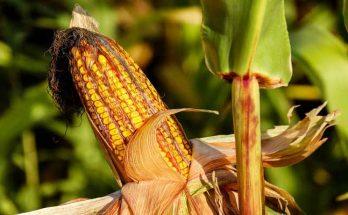 Kukuruz GMO hrana