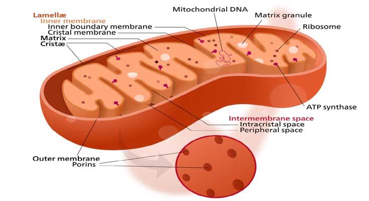 mitohondriji koenzim Q10